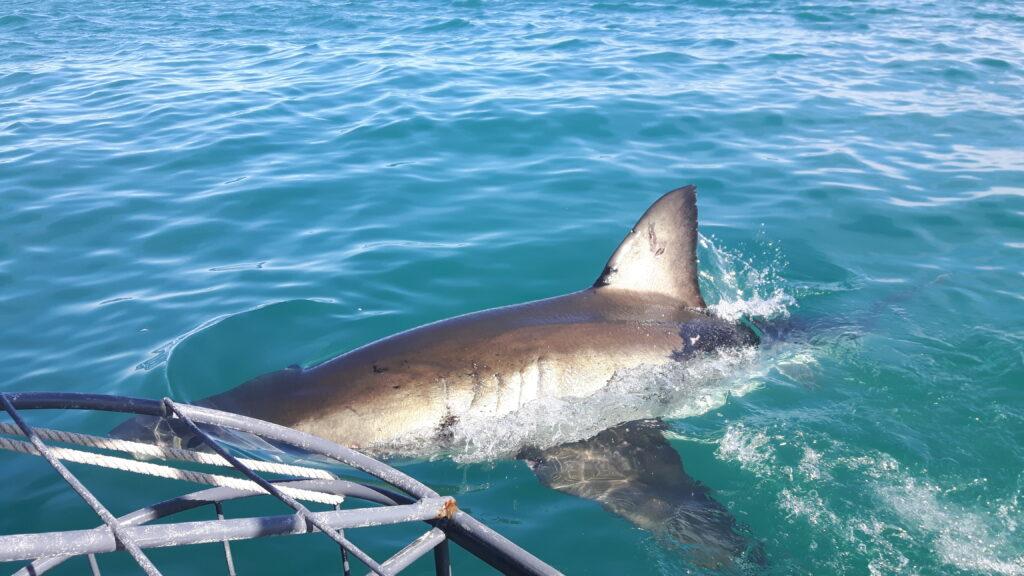 Lo squalo mentre studia le sue prede
