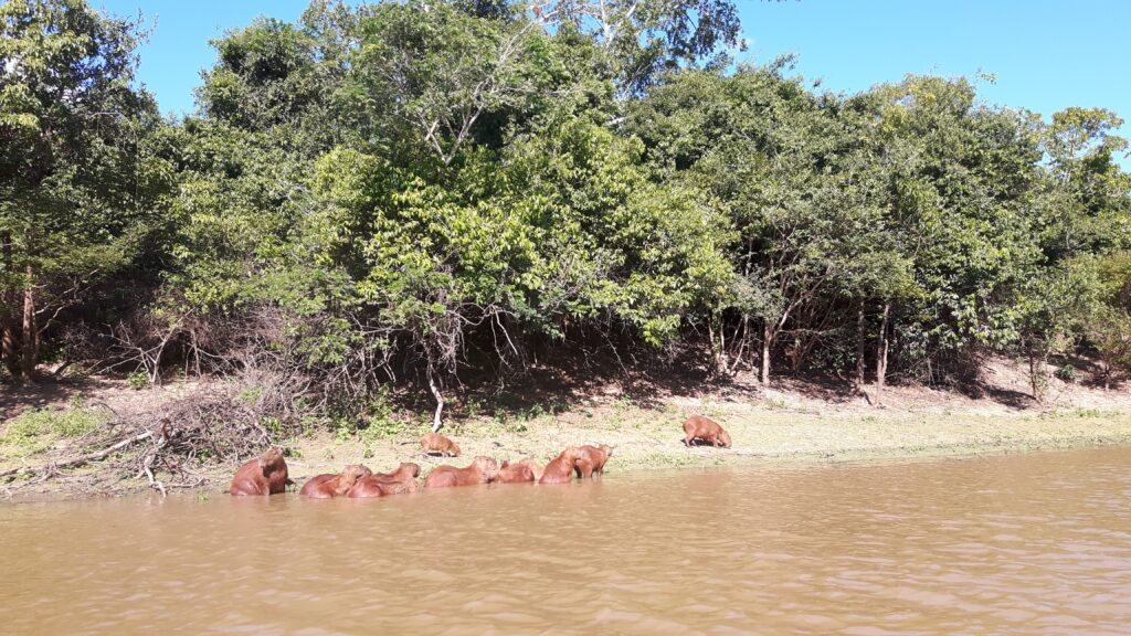 I capibara si rilassano sulla riva