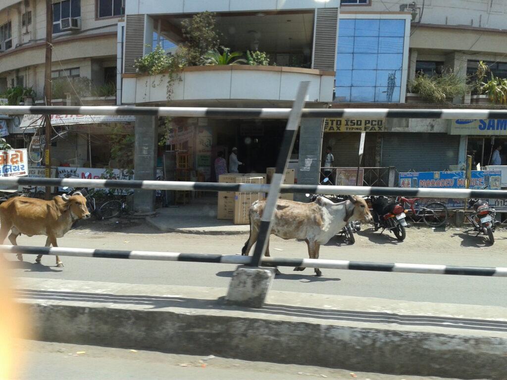 Alcune vacche passeggiano tranquille per la città
